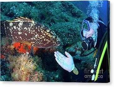 Scuba Diver With A Dusky Grouper Canvas Print by Sami Sarkis