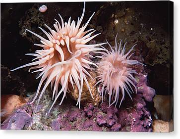 Sea Anemones In  Admiralty Inlet Canvas Print