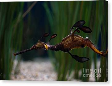 Sea Dragons Canvas Print by Carol Ailles