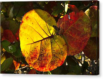 Sea Grape Leaves Canvas Print by David Lee Thompson