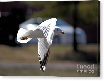 Sea Gull In Flight Canvas Print by Mark McReynolds