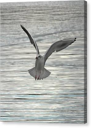 Sea Gull Canvas Print by Tom Gallacher