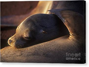Canvas Print featuring the photograph Sea Lion - Galapagos by Craig Lovell