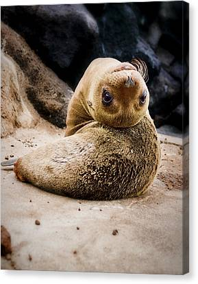 Sea Lion Pup Canvas Print