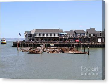 Sea Lions At Pier 39 San Francisco California . 7d14273 Canvas Print by Wingsdomain Art and Photography
