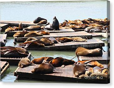 Sea Lions At Pier 39 San Francisco California . 7d14316 Canvas Print by Wingsdomain Art and Photography