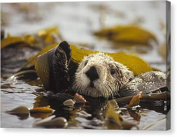 Sea Otter Enhydra Lutris Floating Canvas Print by Gerry Ellis