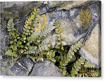 Sea Fern Canvas Print - Sea Spleenwort (asplenium Marinum) by Bob Gibbons