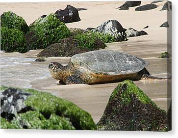 Sea Turtle 1 Canvas Print