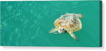 Sea Turtle Canvas Print by Angela White