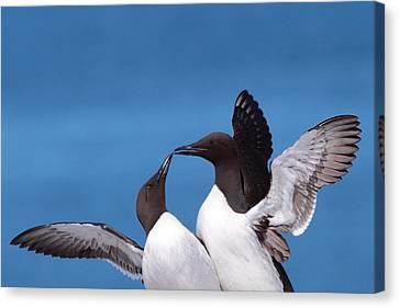 Seabird Love Canvas Print by Bruce J Robinson