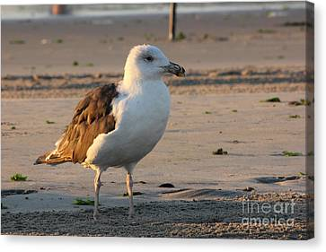 Seagull Beach Ocean Seaview Oceanview Beaches Photos Pictures Buy Sell Selling Gallery Photo New Canvas Print by Pictures HDR