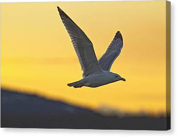 Seagull Flying At Dusk With Sunset Canvas Print by Robert Postma