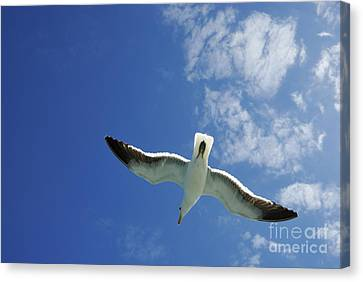 Seagull Flying In The Sky On Blue Sky Canvas Print by Sami Sarkis