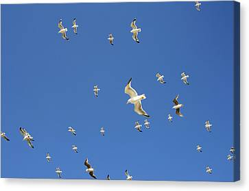 Seagull Canvas Print by Johnny Greig