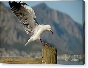 Seagull Landing On Pole Canvas Print by Sami Sarkis