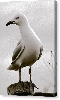 Seagull On Post Canvas Print