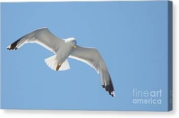 Seagull On The Sky Canvas Print by Olga R