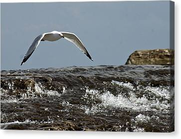 Canvas Print featuring the photograph Seagull Overt The Rapids by Darleen Stry