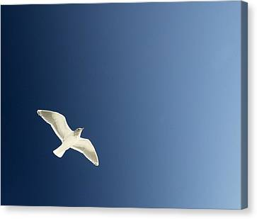 Seagull Soaring Canvas Print by Con Tanasiuk