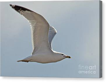 Seagull Soaring Canvas Print by Darleen Stry