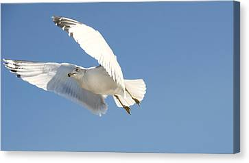 Seagull Canvas Print by Steven Michael