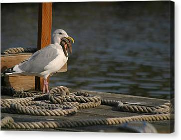 Canvas Print featuring the photograph Seagull Swallows Starfish by Kym Backland
