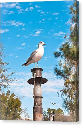 Seagull Canvas Print by Tom Gowanlock