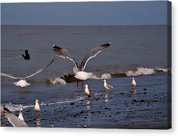 Seagulls Dip Netting  Canvas Print by Debra  Miller