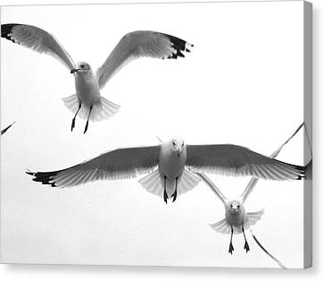 Canvas Print featuring the photograph Seagulls Soaring by Lyn Calahorrano