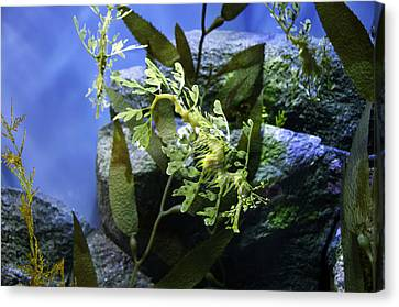 Canvas Print featuring the photograph Seahorse by Paul Plaine