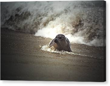 Seal In The Surf At Lajolla Beach No.004 Canvas Print by Randall Nyhof