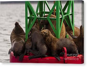 Seals Warming Up Canvas Print