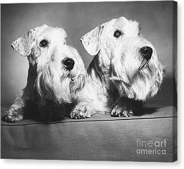 Sealyham Terriers Canvas Print by M E Browning and Photo Researchers