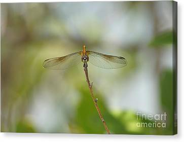 Seaside Dragonlet Canvas Print by Lynda Dawson-Youngclaus