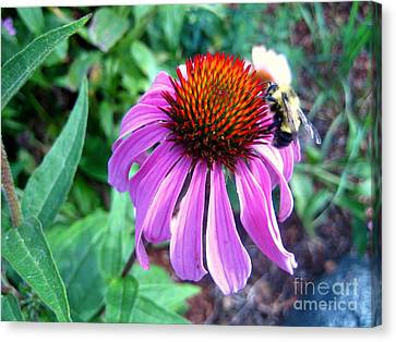 Season For Echinacea  Canvas Print by Kathy Bassett