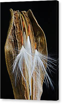 Canvas Print featuring the photograph Seed Pod-3- St Lucia by Chester Williams