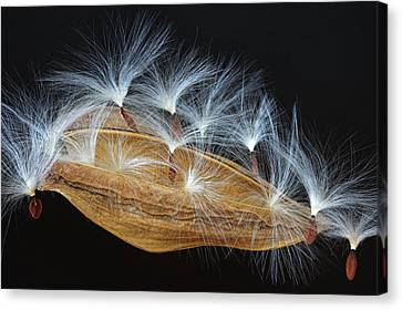 Canvas Print featuring the photograph Seed Pod-4- St Lucia by Chester Williams