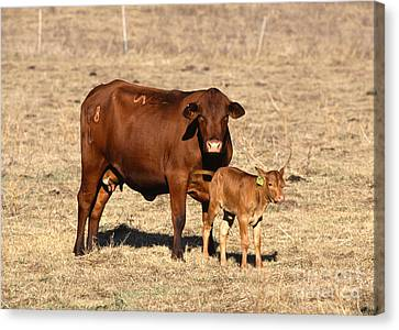Senopol Surrogate With Calf Canvas Print by Science Source