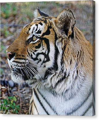 Serene Tiger Canvas Print by Katie Dees