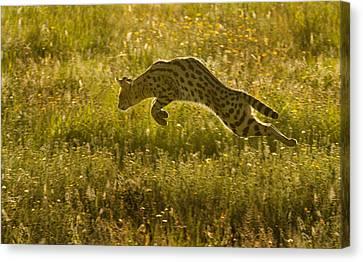 Serval Cat Pouncing Serengeti Canvas Print