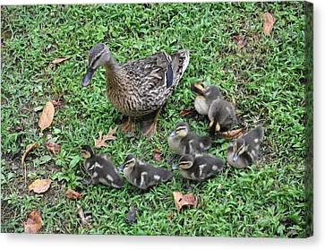 Seven Little Ducklings Canvas Print by Jan Amiss Photography