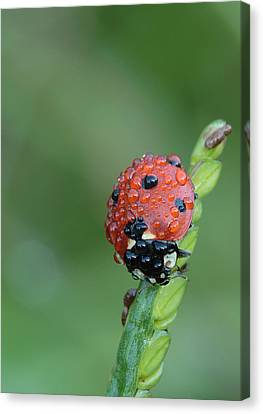Canvas Print featuring the photograph Seven-spotted Lady Beetle On Grass With Dew by Daniel Reed