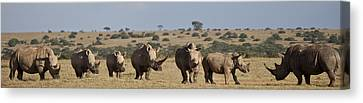 Seven White Rhinos Line Up In Solio Canvas Print