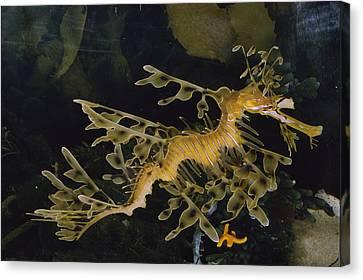Several Views Of The Leafy Sea Dragon Canvas Print