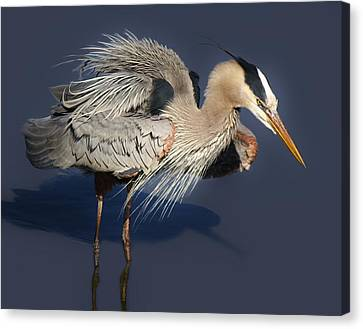 Shaking Out My Tail Feathers Canvas Print by Paulette Thomas
