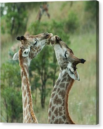 Sharing Canvas Print - Sharing by Alistair Lyne