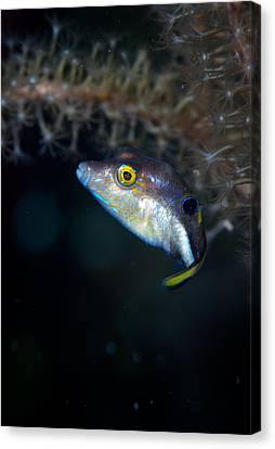 Sharp Nosed Puffer Canvas Print by Jean Noren