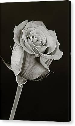 Sharp Rose Black And White Canvas Print by M K  Miller