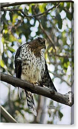 Sharp Shinned Hawk - Winged Stare -5459 Canvas Print by James Ahn